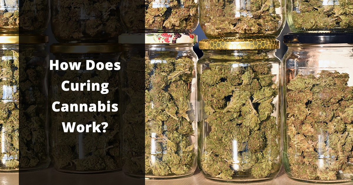 how does curing cannabis work